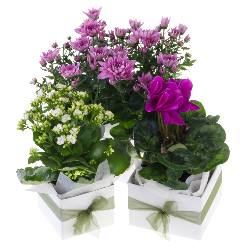 Small Flowering House Plant Bays Flowers