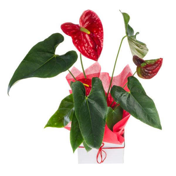 Boxed Plant